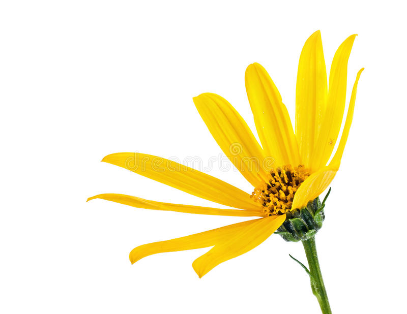 A flower of plant is Jerusalem artichoke or earth apple or topinambour. Yellow flowers of garden plant the Jerusalem artichoke is isolated on a white background stock photos