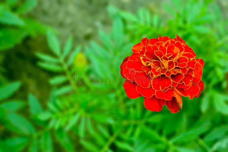 Flower of the plant marigold lat. Tagétes. Origin - North America. On a blurry background of leaves stock photography