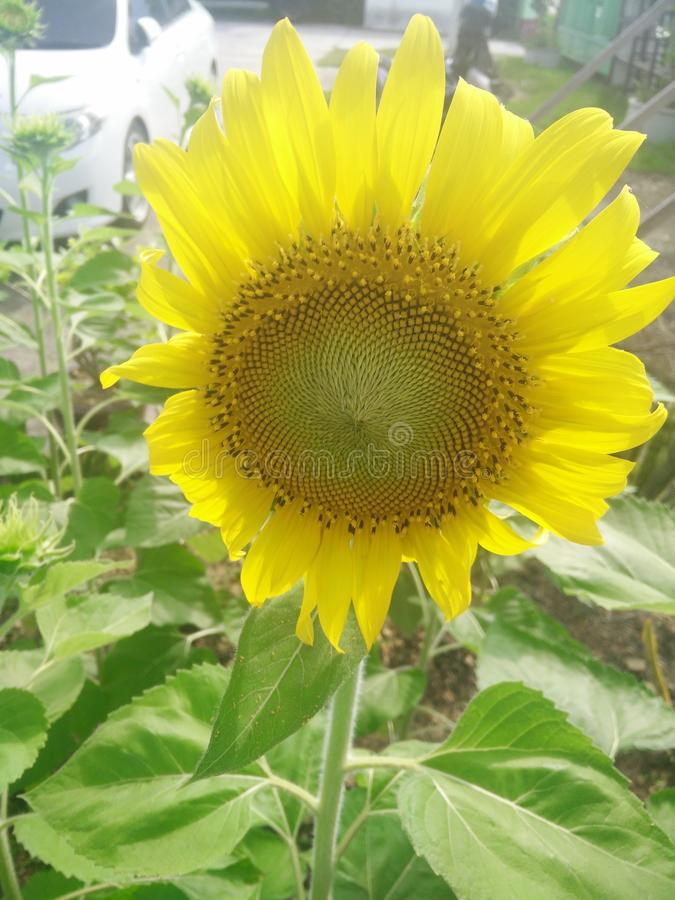 Flower. Plant nature sunflower green leaf yellow stock photo