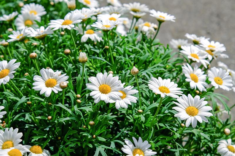 Flower, Plant, Oxeye Daisy, Marguerite Daisy stock photography