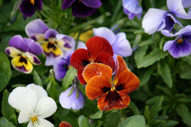 Flower, Plant, Pansy, Flora royalty free stock images