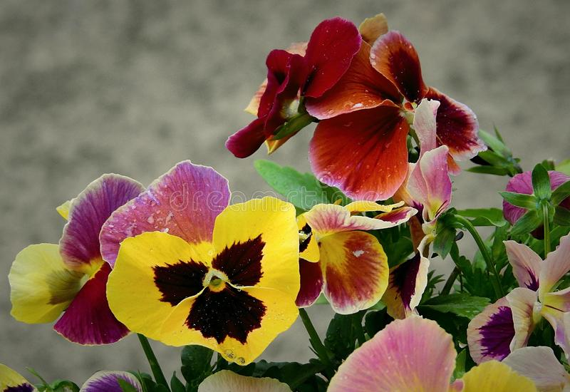 Flower, Plant, Pansy, Flora stock image