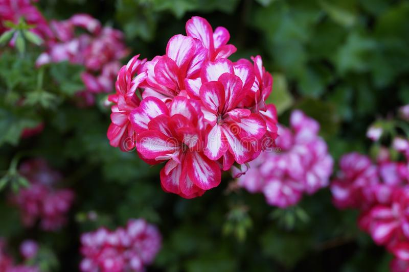 Flower, Plant, Pink, Flowering Plant royalty free stock photography