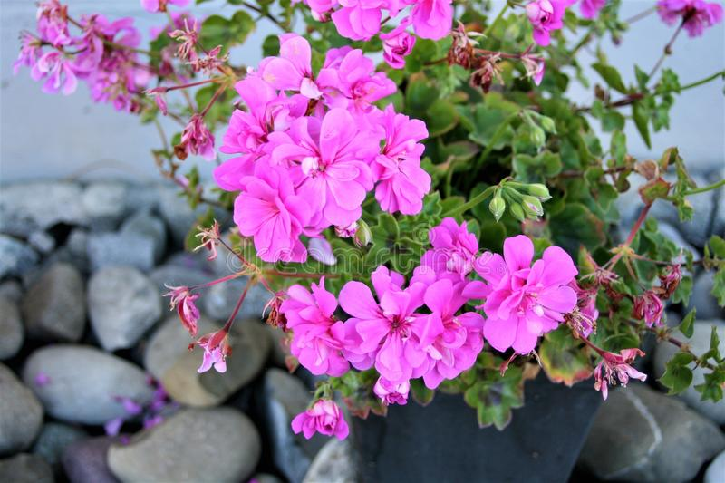 Flower, Plant, Pink, Flowering Plant stock images