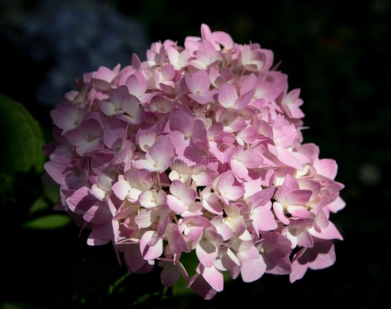 Flower, Plant, Pink, Flowering Plant Free Public Domain Cc0 Image