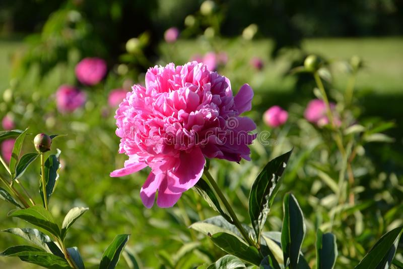 Flower, Plant, Pink, Peony royalty free stock photography