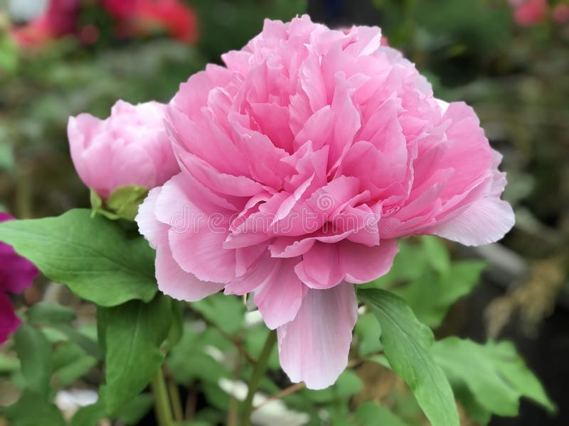 Flower, Plant, Pink, Peony stock images