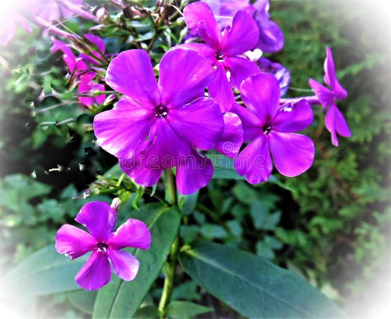 Flower, Plant, Purple, Flowering Plant royalty free stock images