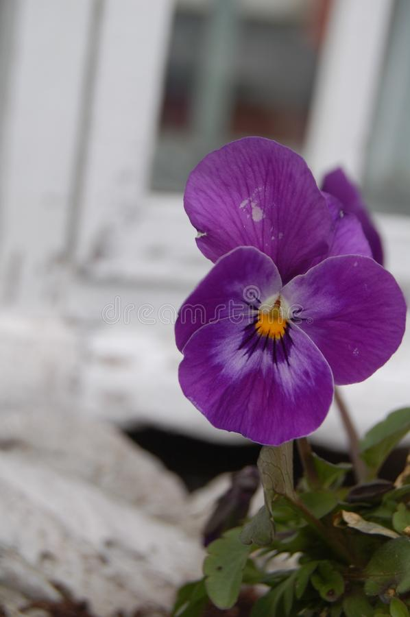 Flower, Plant, Purple, Pansy royalty free stock photography