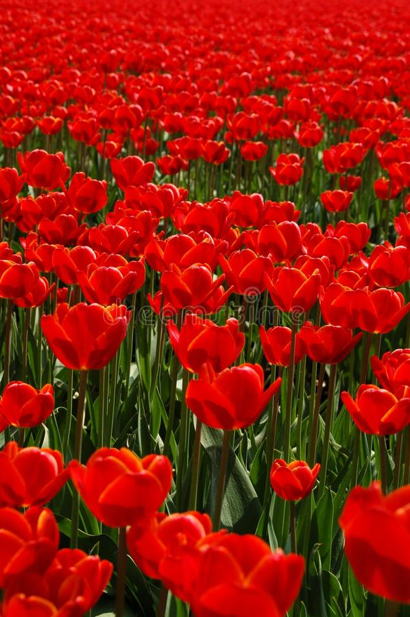 Flower, Plant, Red, Field royalty free stock photography