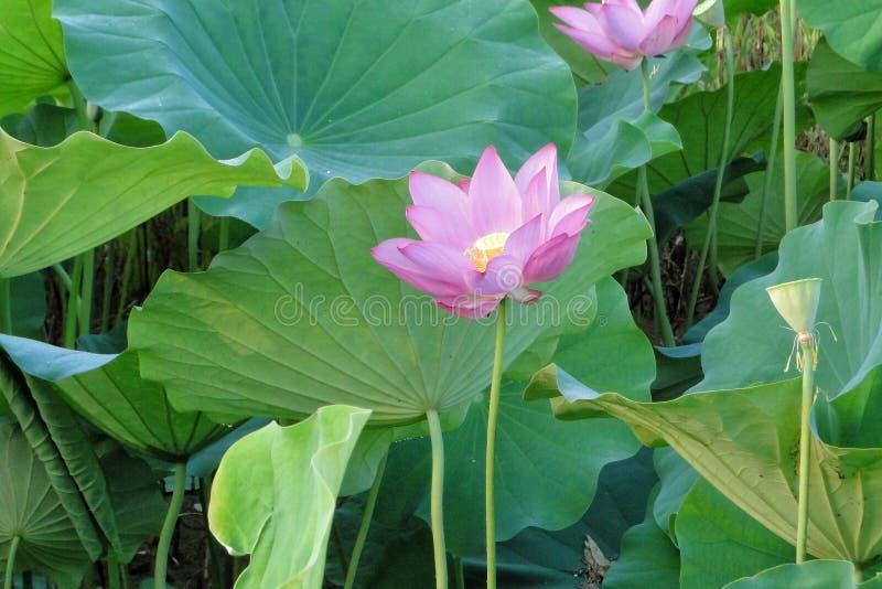 Flower, Plant, Sacred Lotus, Lotus Free Public Domain Cc0 Image