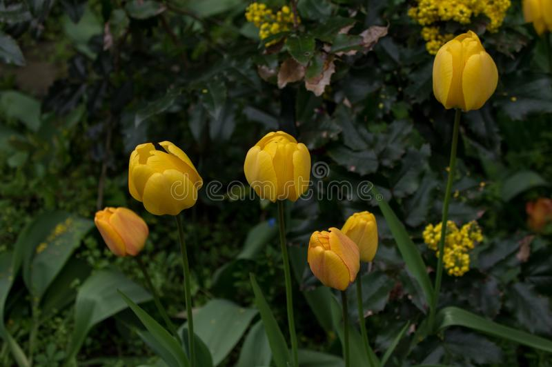 Flower, Plant, Tulip, Yellow royalty free stock photo