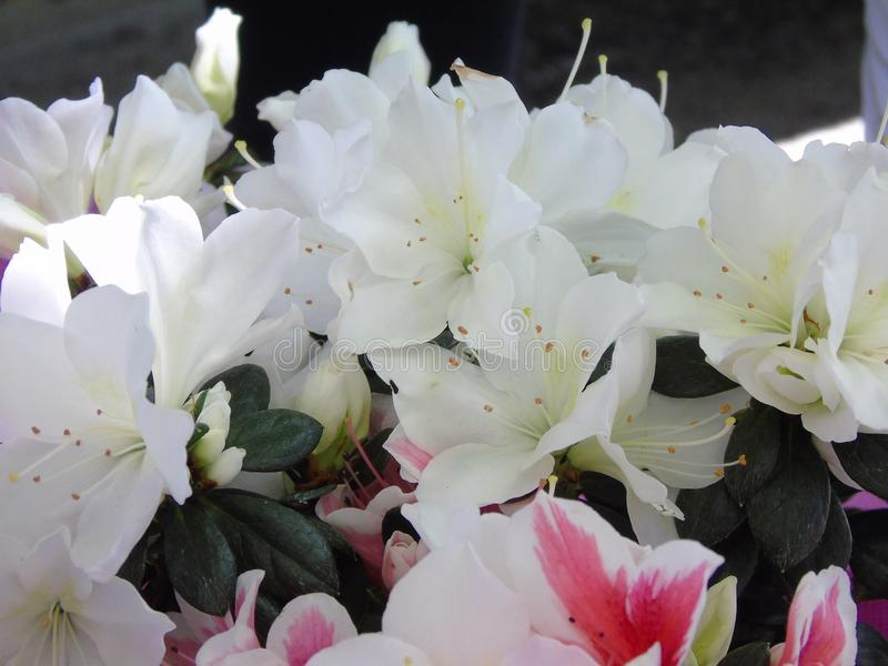 Flower, Plant, White, Pink royalty free stock images