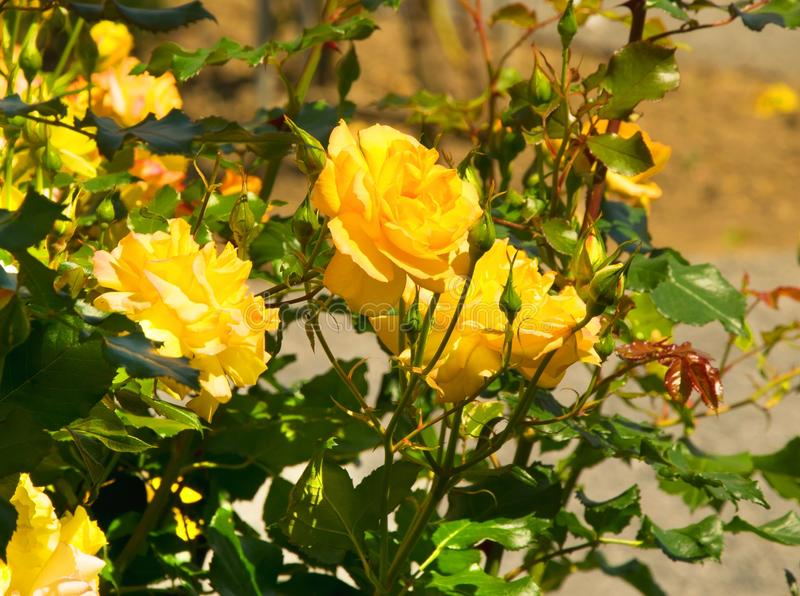 Flower, Plant, Yellow, Rose Family stock photo