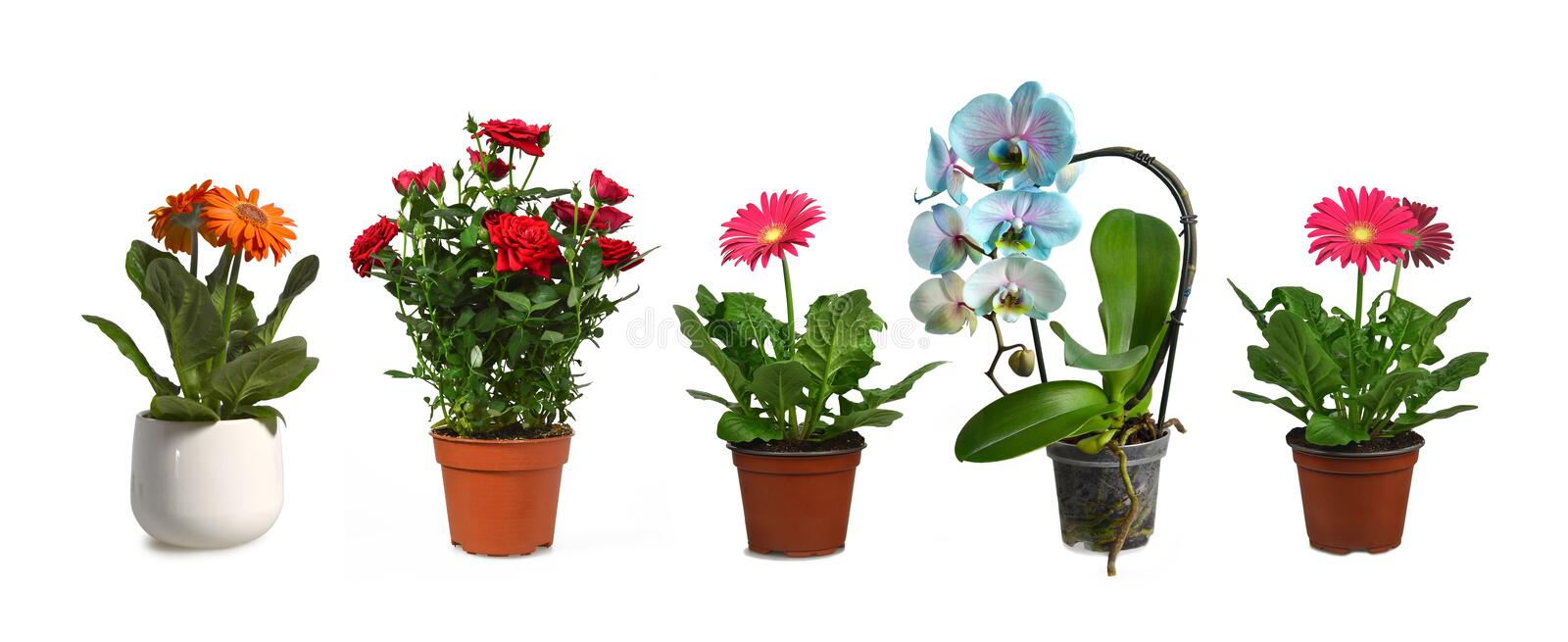 Flower plants in pots isolated on white royalty free stock photography