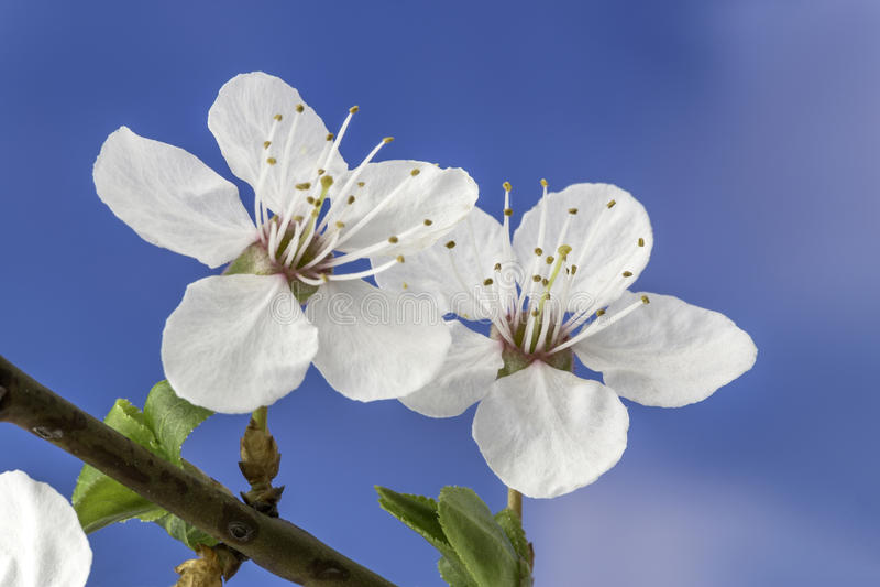 Flower of plum royalty free stock photos