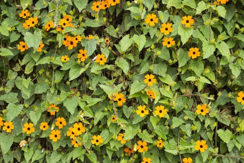 Flower poet`s eye - Thunbergia alata. Black-eyed Susan vine with trellis - Thunbergia alata stock photo