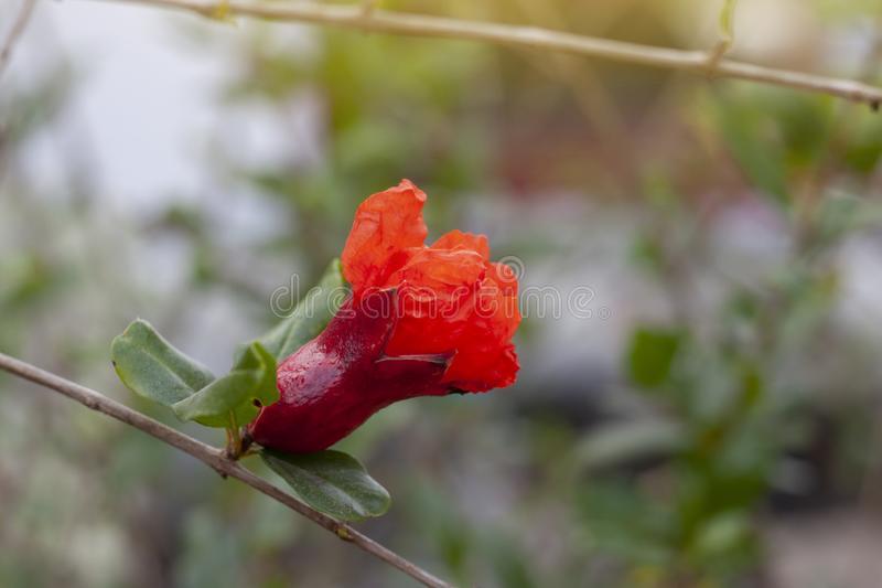 Pomegranate Bloom Fruit Stock Photos Download 776