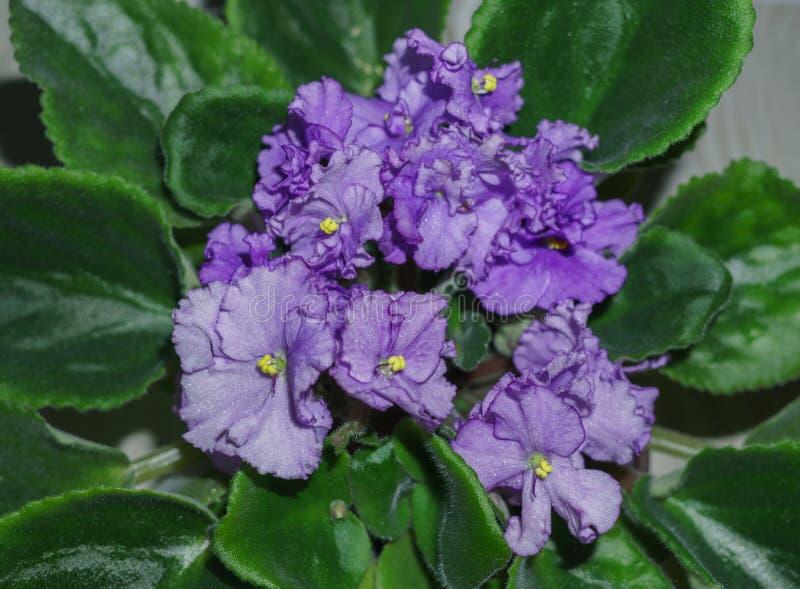 Flower pot of blossoming purple African violets .Saintpaulia.  stock image