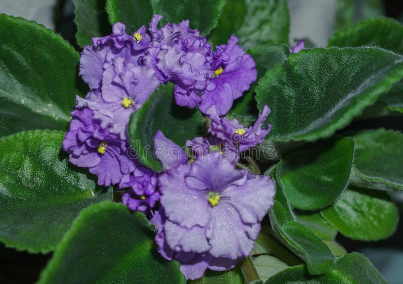 Flower pot of blossoming purple African violets .Saintpaulia royalty free stock photo