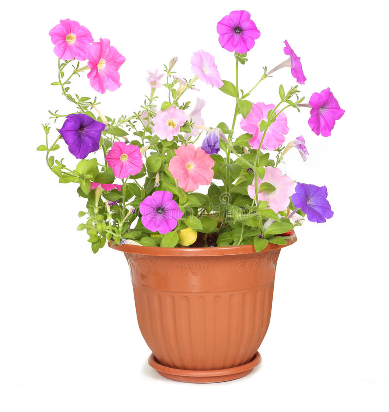 Flower in pot. Isolated on white background royalty free stock photography