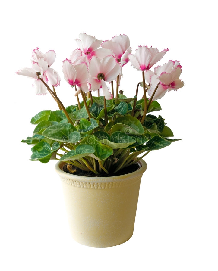 Flower pot with pink flowers isolated stock photo image of download flower pot with pink flowers isolated stock photo image of indoors petal mightylinksfo