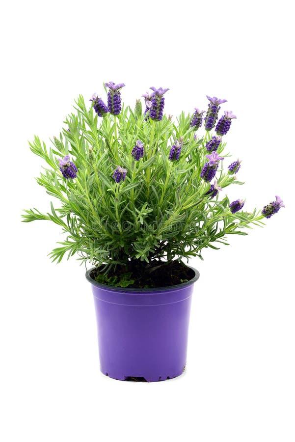 Flower pot of Spanish lavender Lavandula stoechas on white iso stock photo