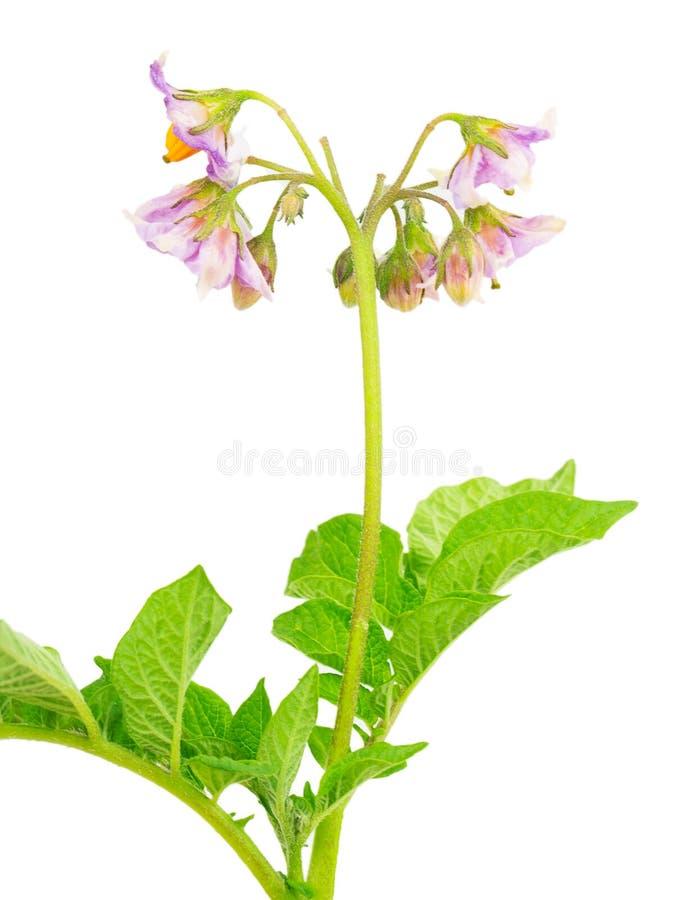 Flower potatoes stock photo