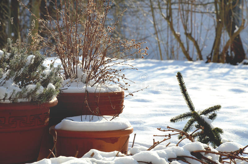 Flower pots with plants standing outside in winter. Flower pots with plants standing outside in the garden covered with snow stock image