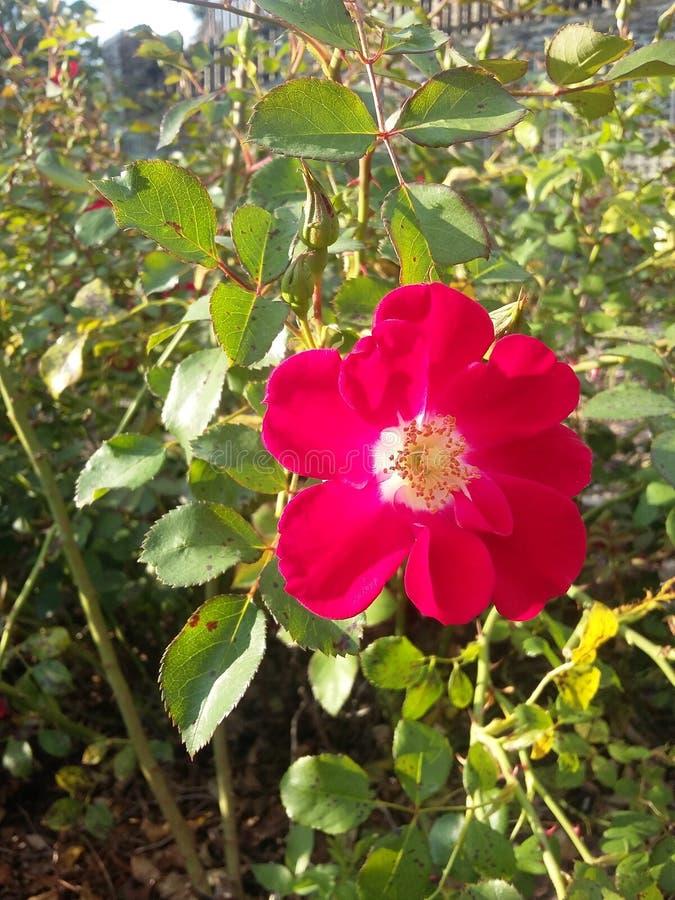 Flower power von wildem stieg lizenzfreies stockbild