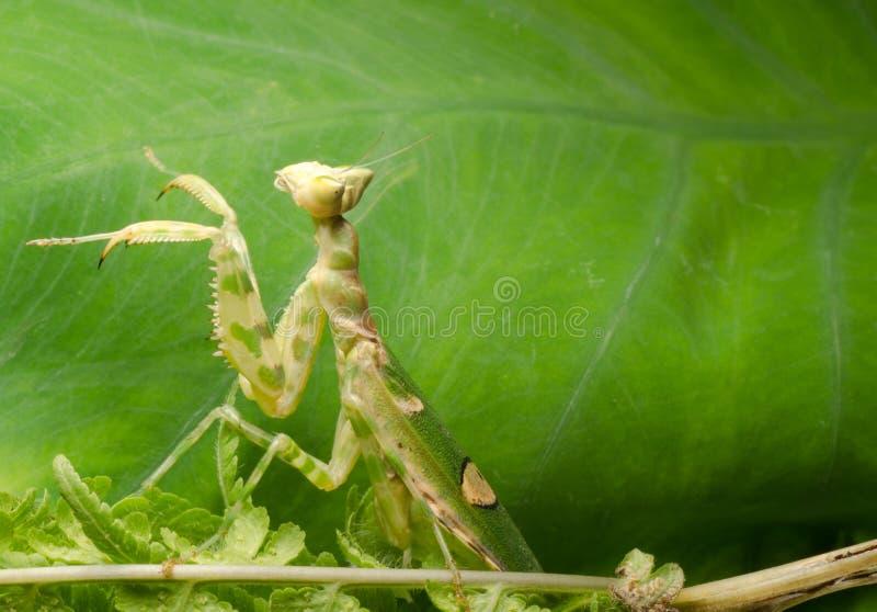 Download Flower praying mantis stock photo. Image of wild, shot - 21498732
