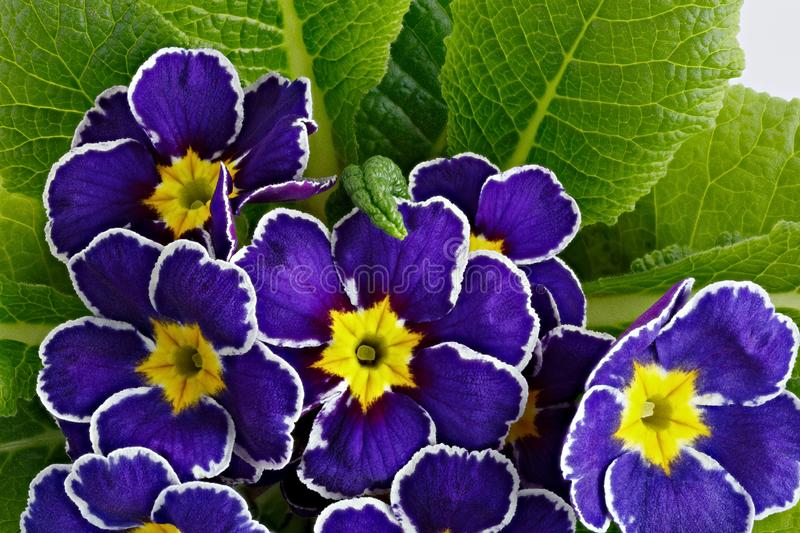 Flower Primula vulgaris with blossoming buds.  stock photography
