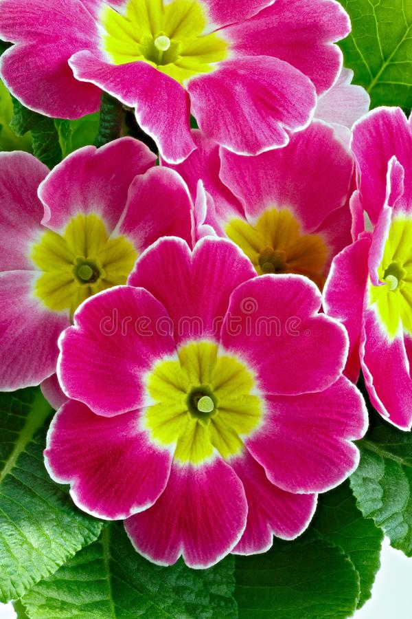 Flower Primula vulgaris with blossoming buds.  royalty free stock photography