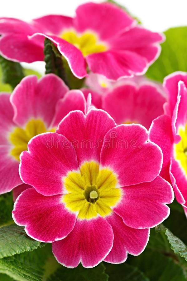 Flower Primula vulgaris with blossoming buds.  royalty free stock images
