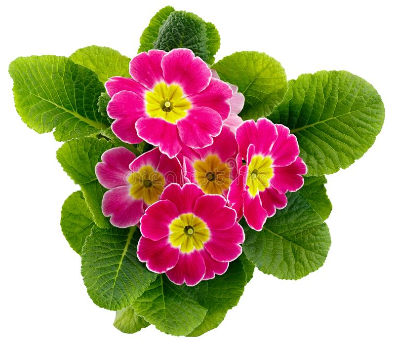 Flower Primula vulgaris with blossoming buds isolated on white background.  stock photos