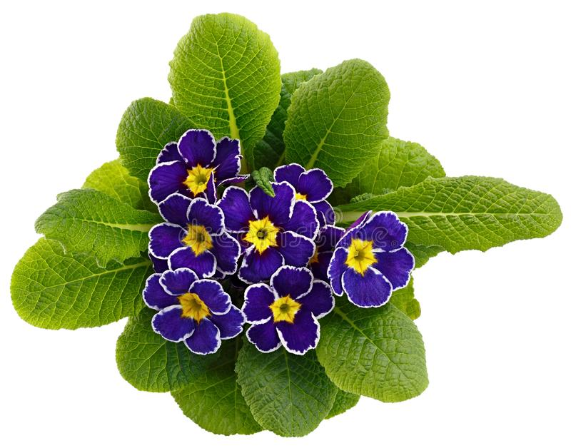 Flower Primula vulgaris with blossoming buds isolated on white background.  stock images