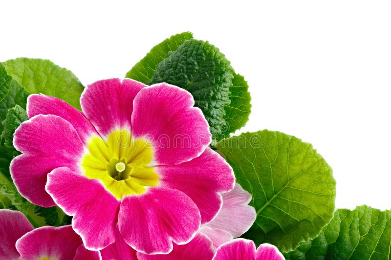 Flower Primula vulgaris with blossoming buds isolated on white background.  stock image
