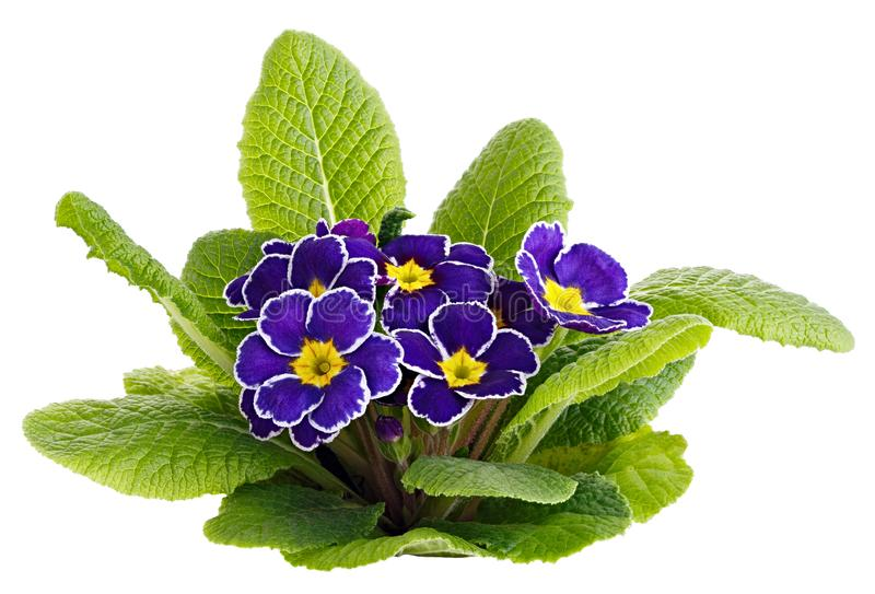 Flower Primula vulgaris with blossoming buds isolated on white background.  stock photography