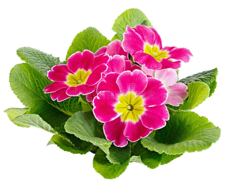 Flower Primula vulgaris with blossoming buds isolated on white background.  royalty free stock photography
