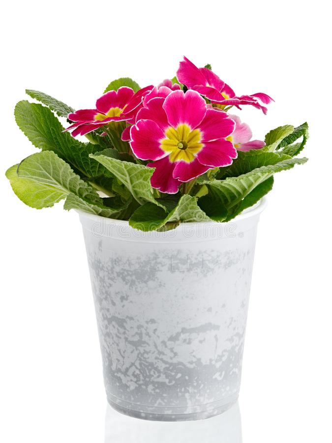 Flower Primula vulgaris with blossoming buds isolated on white background. Perennial plant in a pot.  royalty free stock images