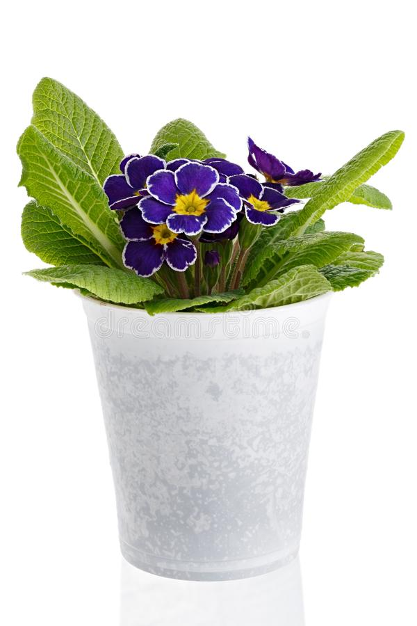 Flower Primula vulgaris with blossoming buds isolated on white background. Perennial plant in a pot.  royalty free stock image