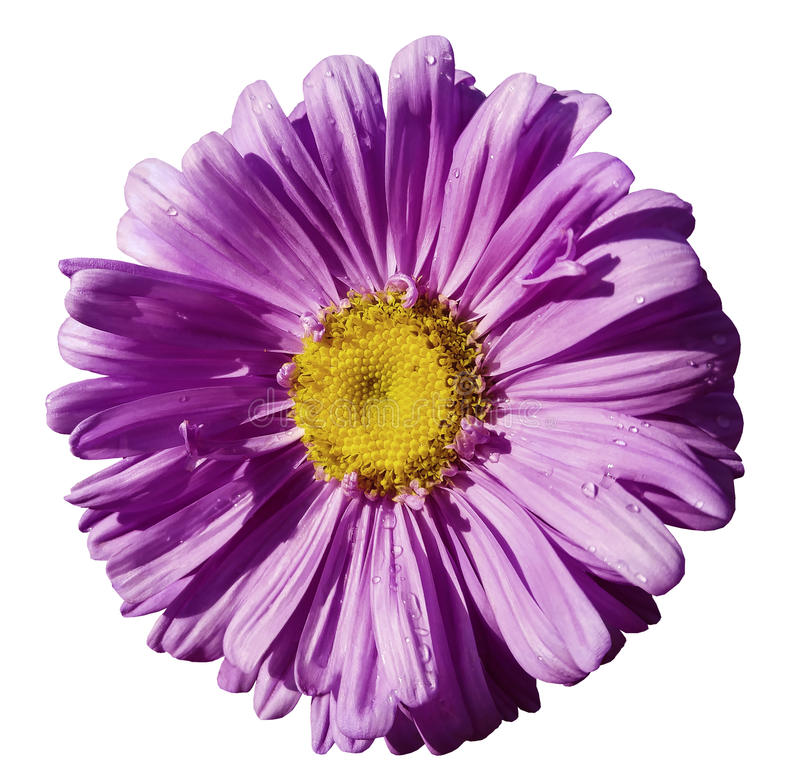 Flower purple Chamomile on white isolated background with clipping path. Daisy violet-yellow with droplets of water for design. C. Loseup. Nature stock images