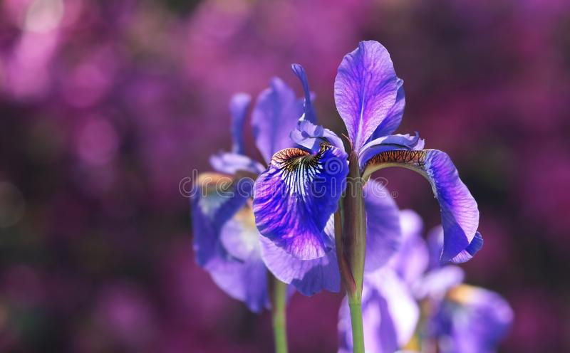 Flower, Purple, Flowering Plant, Plant royalty free stock photo