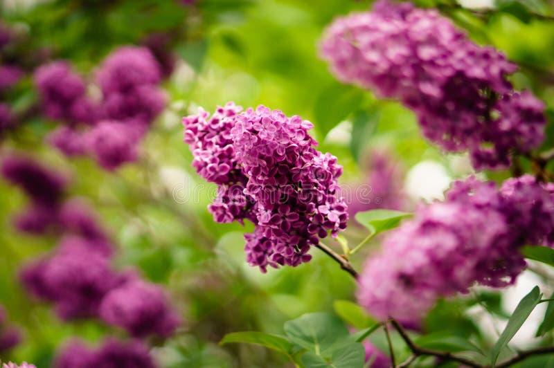 Flower, Purple, Plant, Lilac Free Public Domain Cc0 Image