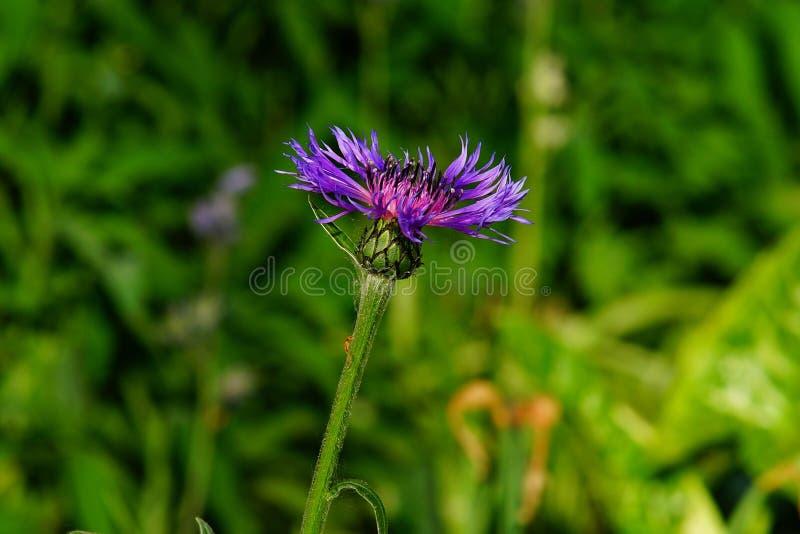 Flower, Purple, Plant, Thistle stock image