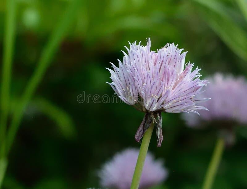 Flower, Purple, Thistle, Flora Free Public Domain Cc0 Image