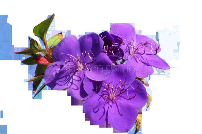 Flower, Purple, Violet, Flowering Plant royalty free stock photo