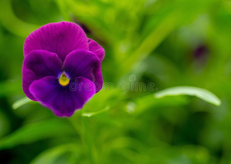 Flower, Purple, Violet, Pansy stock image