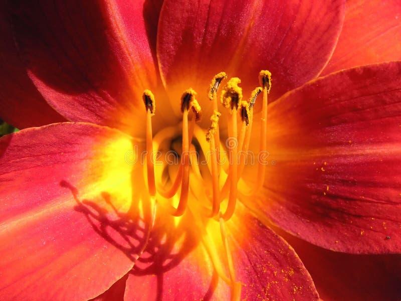 Flower purplish red, yellow azalea stock images