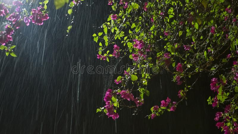 Flower in Rain. Beautiful purple Garden Flowers in Rain at the b stock photo